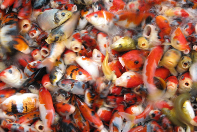 Swarm of Koi fish
