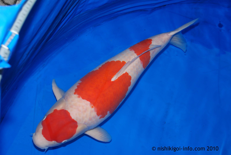 Koi Fish Meaning Definition Koi Fish Information