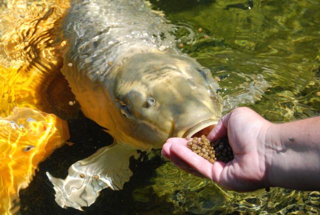 Fish Can You Eat Koi Fish