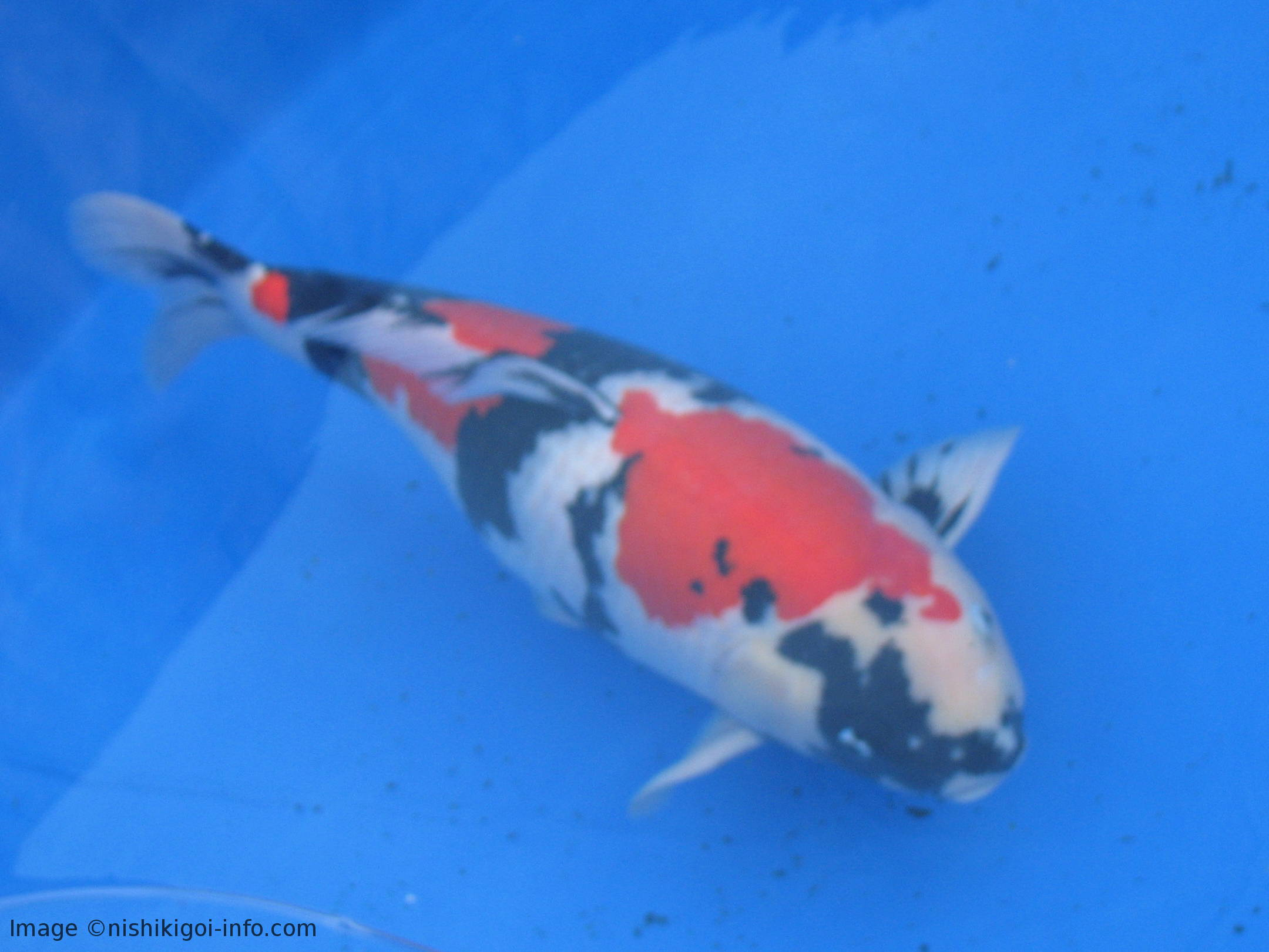 Why Do People Keep Koi Fish