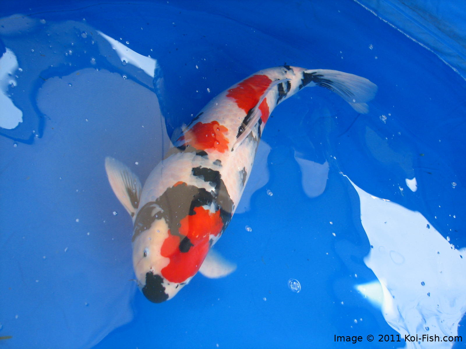 Showa Koi Fish Information